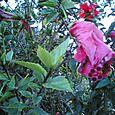 Fri 08/12/2005 19:24 Hibiscus pre-bloom